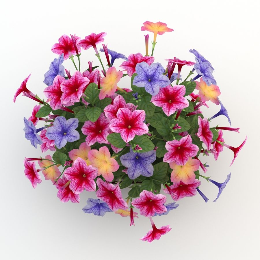 Petunia Colorful royalty-free 3d model - Preview no. 6
