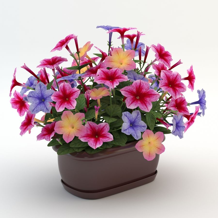 Petunia Colorful royalty-free 3d model - Preview no. 3