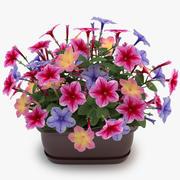 Petunia Colorful 3d model