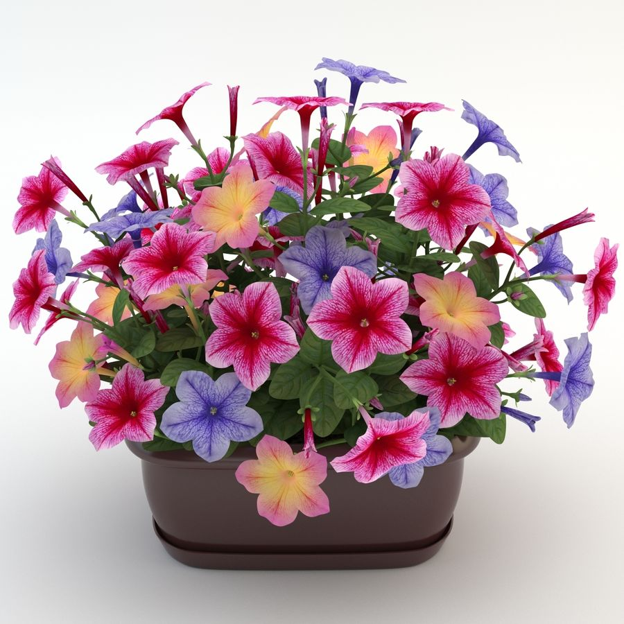 Petunia Colorful royalty-free 3d model - Preview no. 2