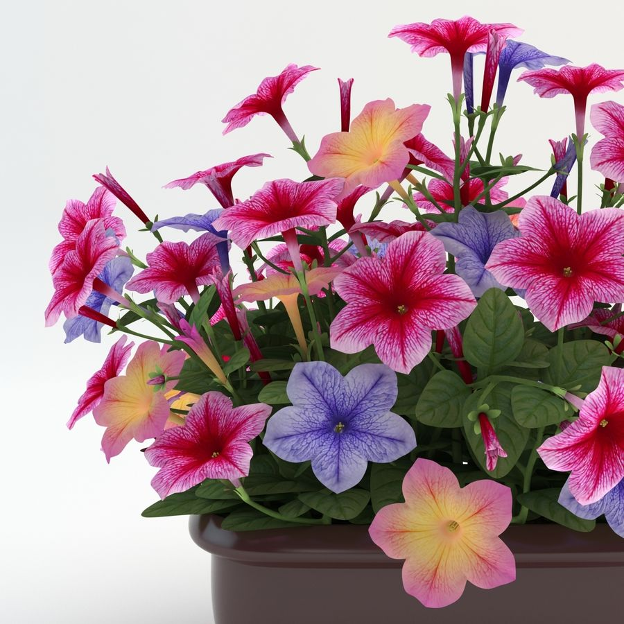 Petunia Colorful royalty-free 3d model - Preview no. 7