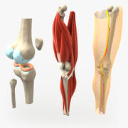 anatomically correct knee 3d model
