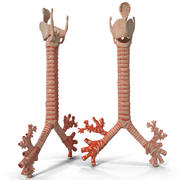 Trachea and Bronchi 3d model