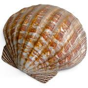 Clam Seashell 2 3d model