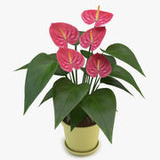 Anthurium Pink 3d model