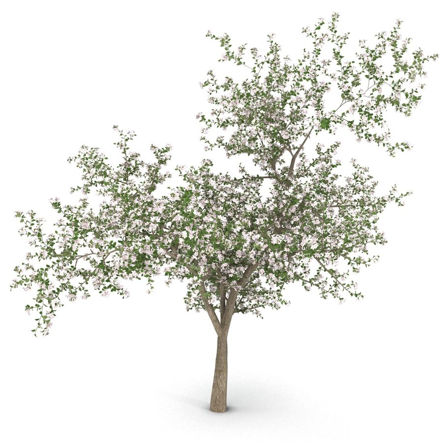 꽃 사과 나무 royalty-free 3d model - Preview no. 6
