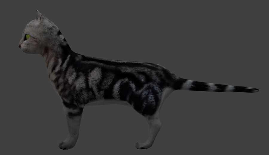 American Shorthair Cat royalty-free 3d model - Preview no. 6