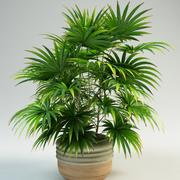 Lady Palm rhapis 3d model