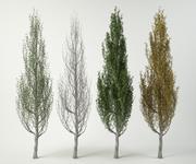 pyramidalis poplar branco populus 3d model
