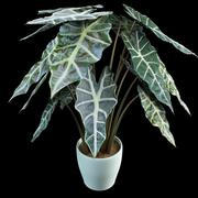 alocasia elephant ear 3d model