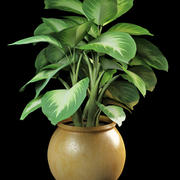 Dieffenbachia dumbcane 3d model