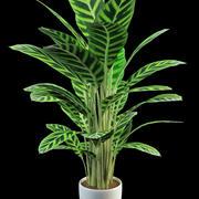 祈り植物カラテア 3d model
