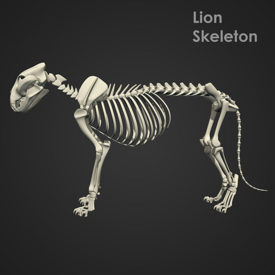 Lion Skeleton (RIG) royalty-free 3d model - Preview no. 14