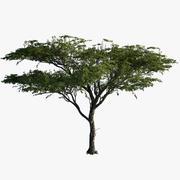 Acacia_01 3d model