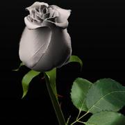 White rose 3d model