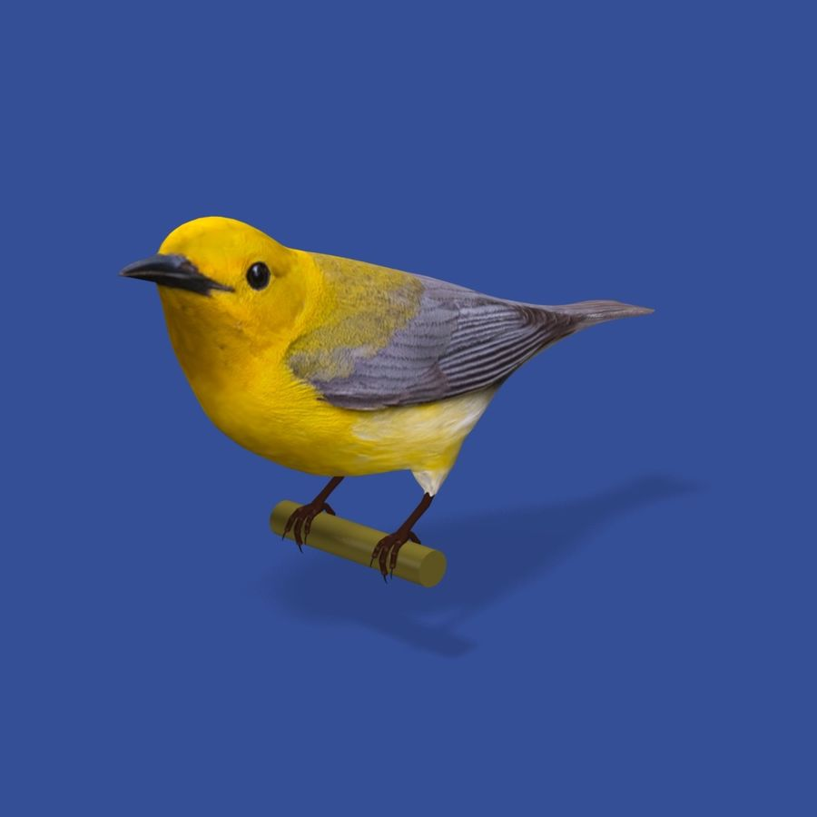 AB Warbler01 royalty-free 3d model - Preview no. 3