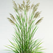 tall fescue Festuca arundinacea 3d model