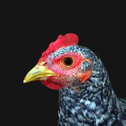 Цыпленок 3d model