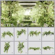 Grape vines ( vitis ) 3d model