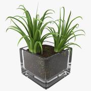 정사각형 유리 꽃병에 관목 Dracaena 3d model