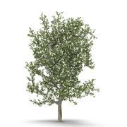 Perenboom Bloeien 3d model