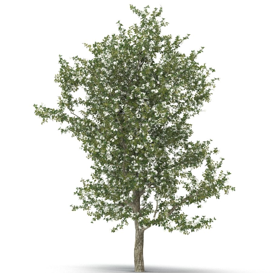 Perenboom Bloeien royalty-free 3d model - Preview no. 10