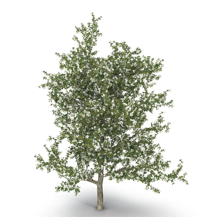 Perenboom Bloeien royalty-free 3d model - Preview no. 4