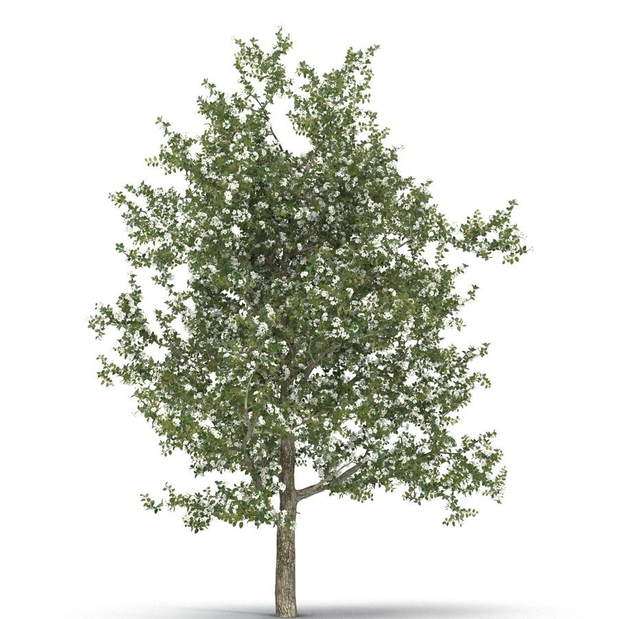 Perenboom Bloeien royalty-free 3d model - Preview no. 12