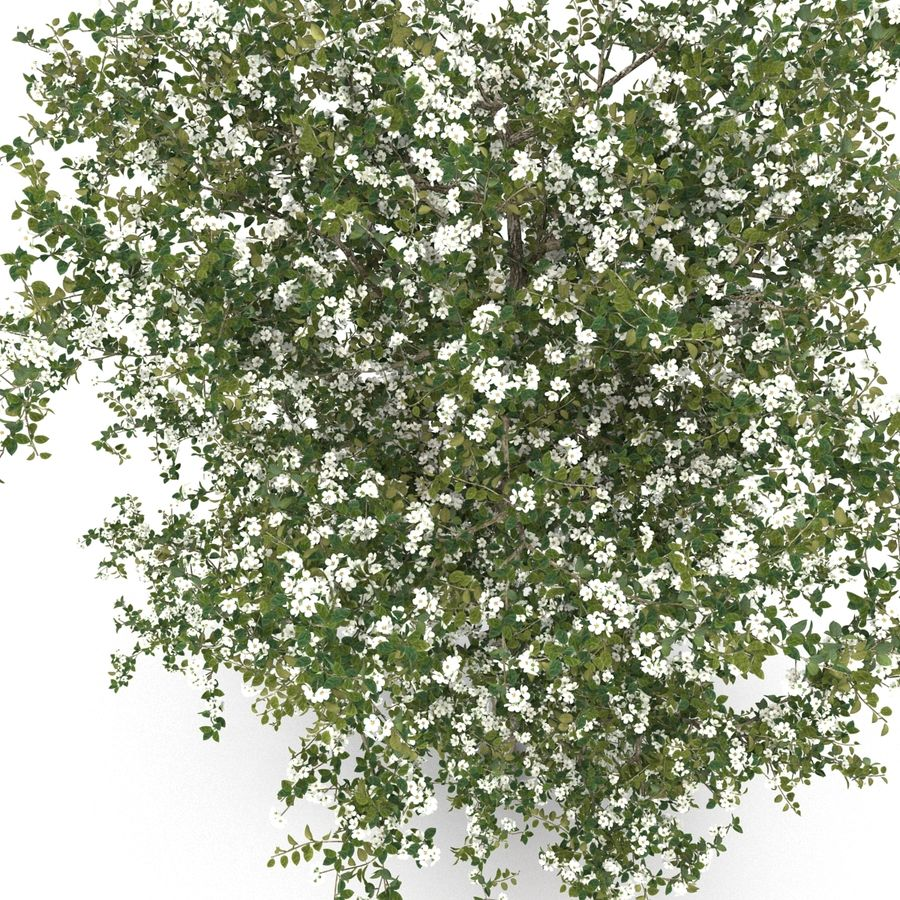 Perenboom Bloeien royalty-free 3d model - Preview no. 6