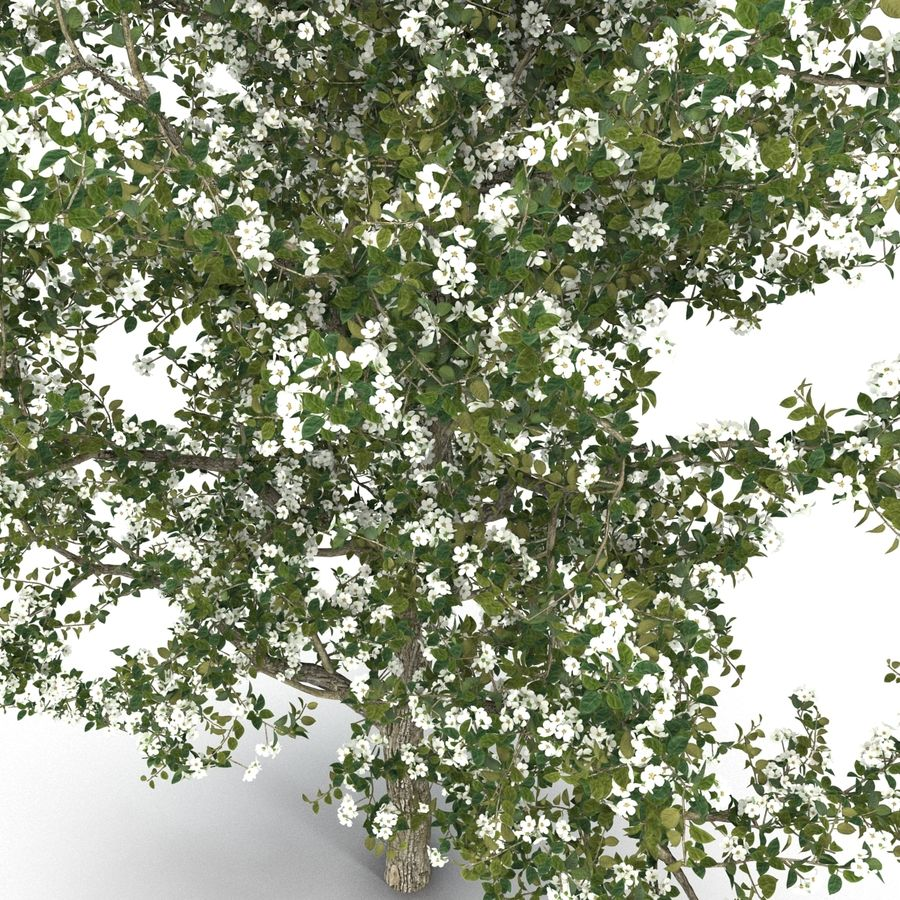 Perenboom Bloeien royalty-free 3d model - Preview no. 8
