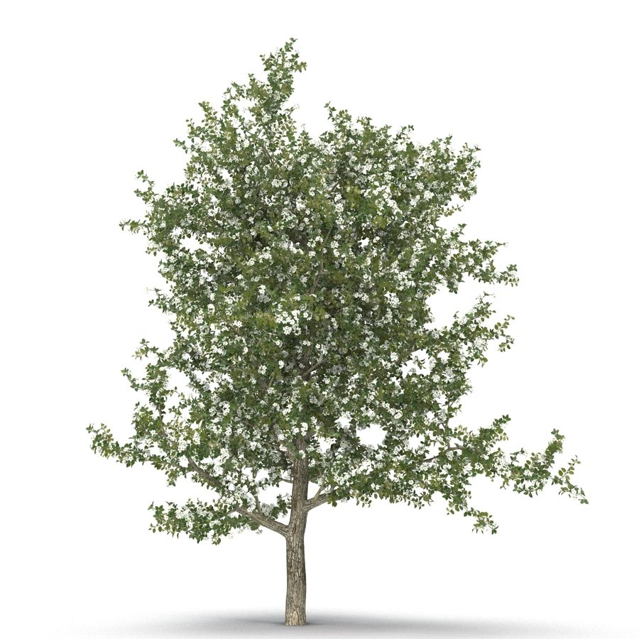 Perenboom Bloeien royalty-free 3d model - Preview no. 13