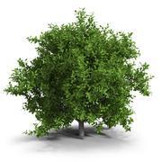 Lime Tree 3d model