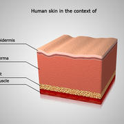 Skin Anatomy Human skin in the context of 3d model