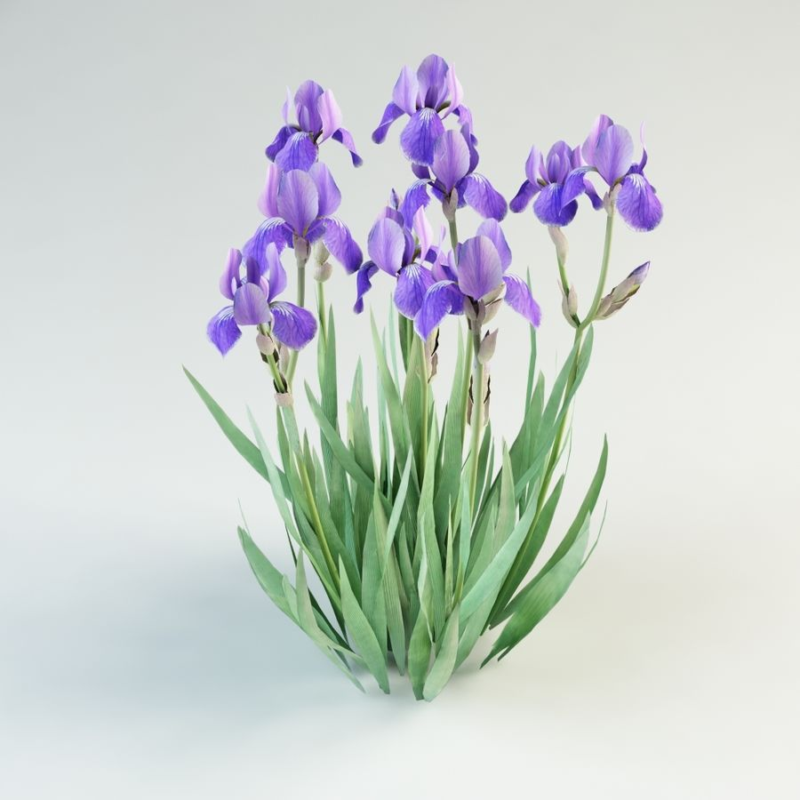 iris germanica flower royalty-free 3d model - Preview no. 5