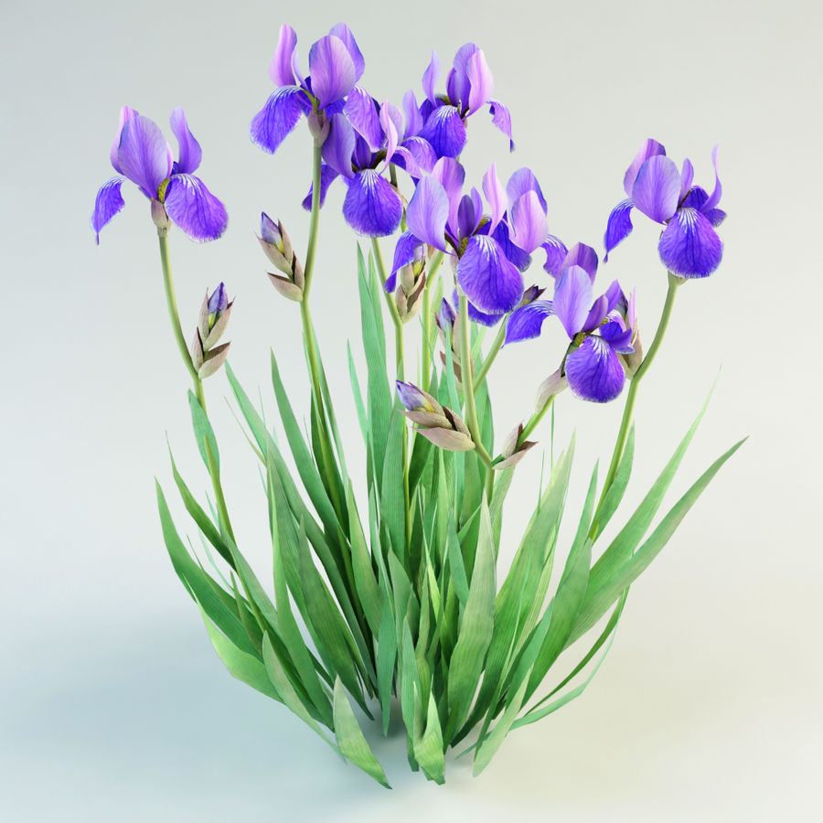 iris germanica flower royalty-free 3d model - Preview no. 2