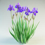 iris germanica flower 3d model