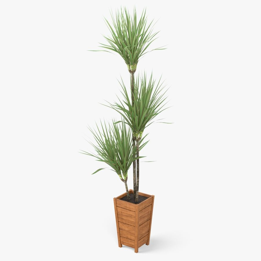 Dracaena Marginata Plant royalty-free 3d model - Preview no. 2
