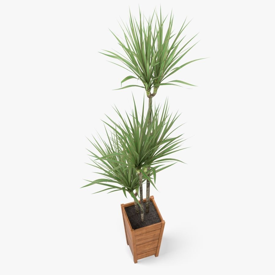 Dracaena Marginata Plant royalty-free 3d model - Preview no. 3