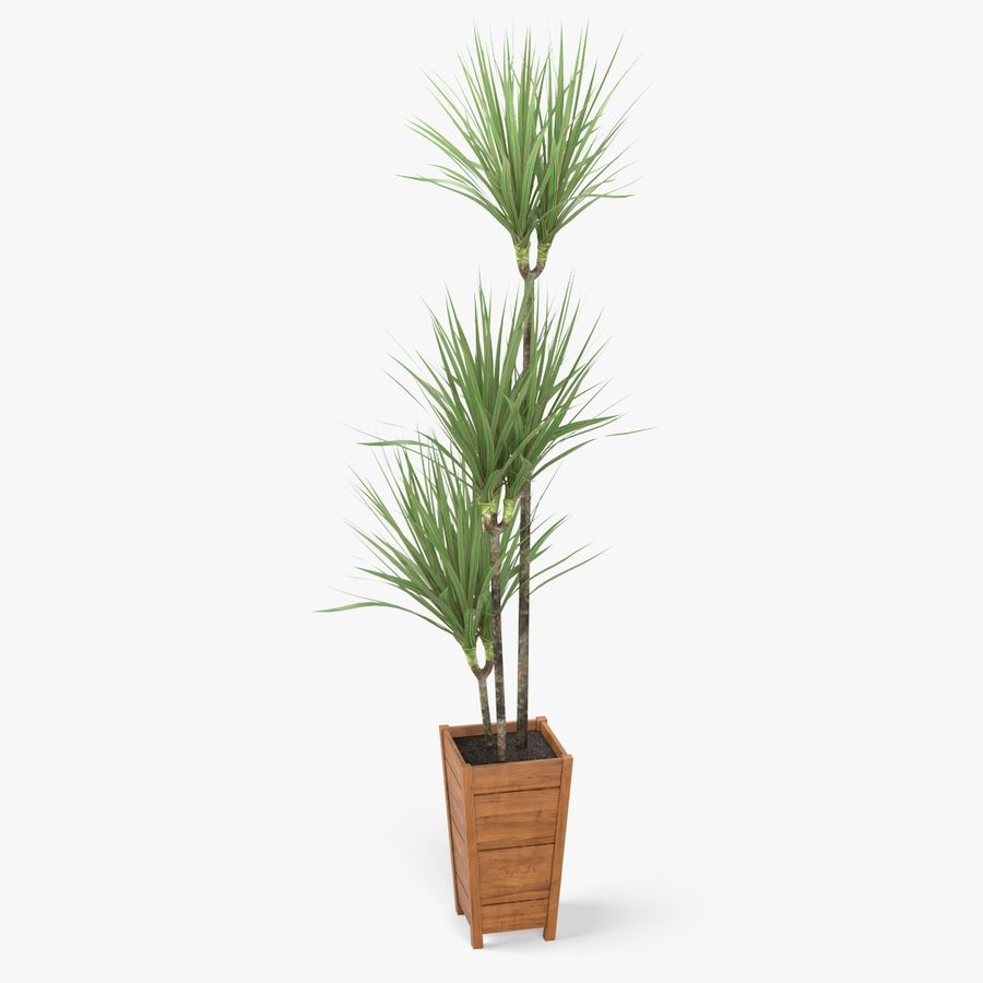 Dracaena Marginata Plant royalty-free 3d model - Preview no. 1