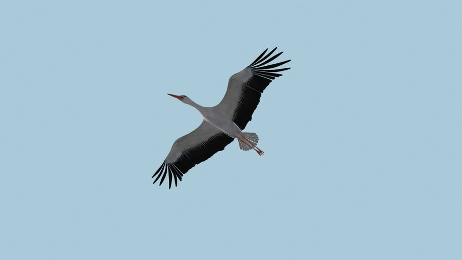 LOW POLY WHITE STORK 3D MODEL FULLY RIGGED & ANIMATED royalty-free 3d model - Preview no. 10