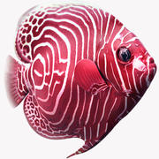 Angelfish Red 3d model