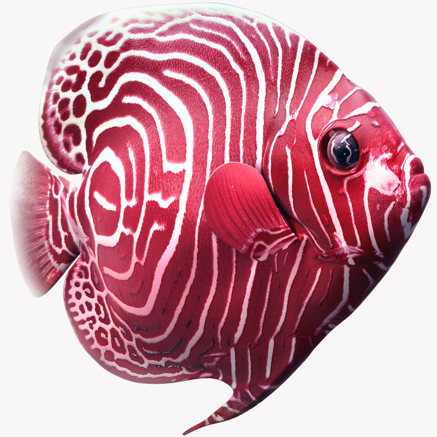 Angelfish Red royalty-free 3d model - Preview no. 1
