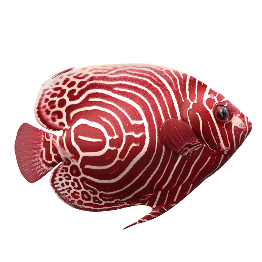 Angelfish Red royalty-free 3d model - Preview no. 4