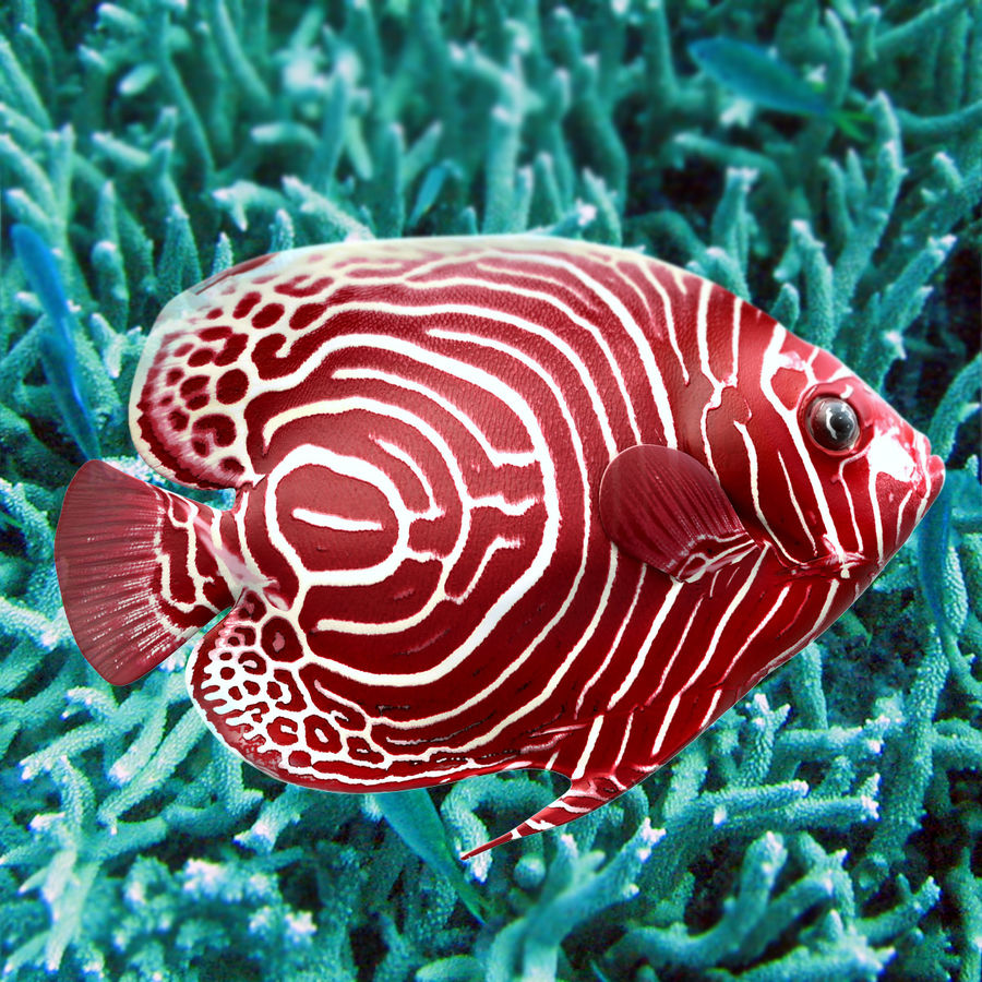 Angelfish Red royalty-free 3d model - Preview no. 3