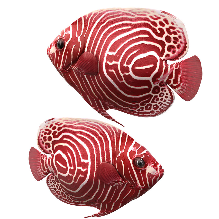 Angelfish Red royalty-free 3d model - Preview no. 5