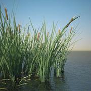 일반적인 Bulrush Grass 3d model