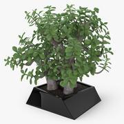 Crassula Plant 3d model