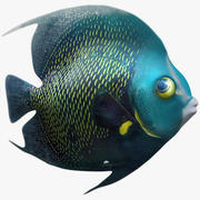 French Angelfish 3d model