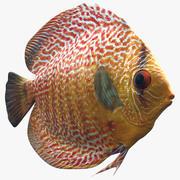 Discus Fish 3d model
