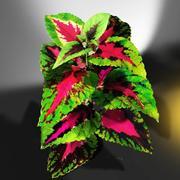 彩叶植物 3d model